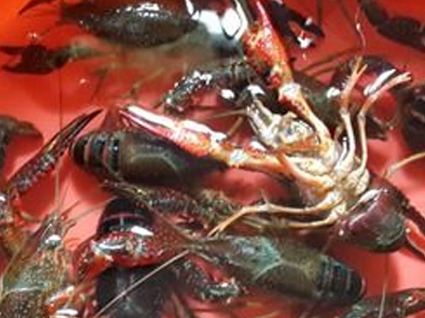 小龙虾养殖成功的关键