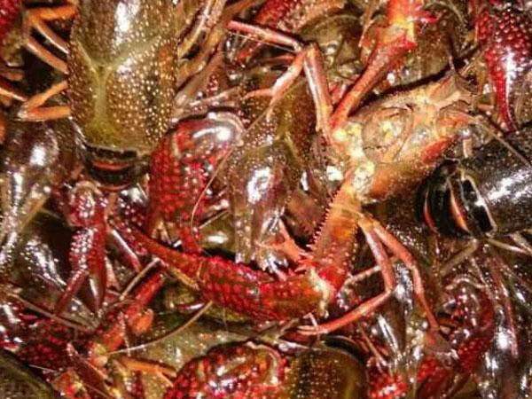 小龙虾养殖池的选择与改造